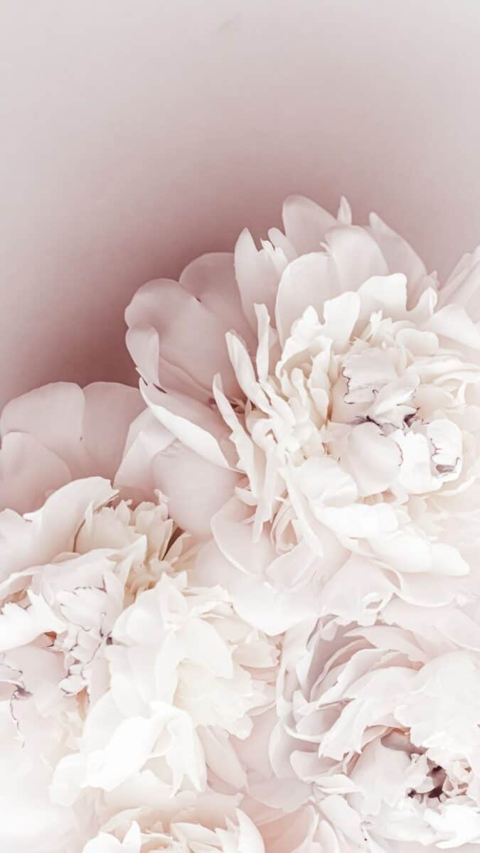 white peony flower background for iPhone