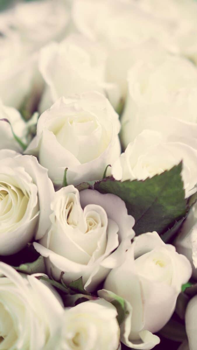white roses background for iPhone