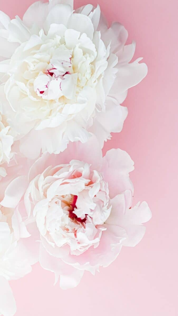 white flower background for iPhone