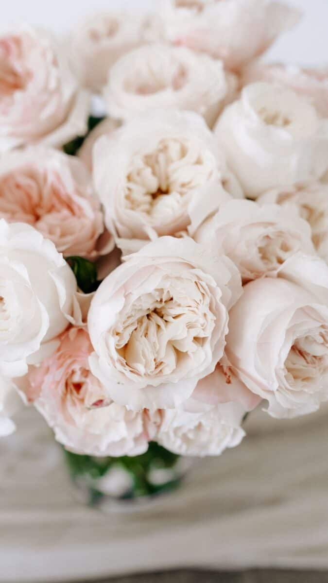 baby peony background for iPhone