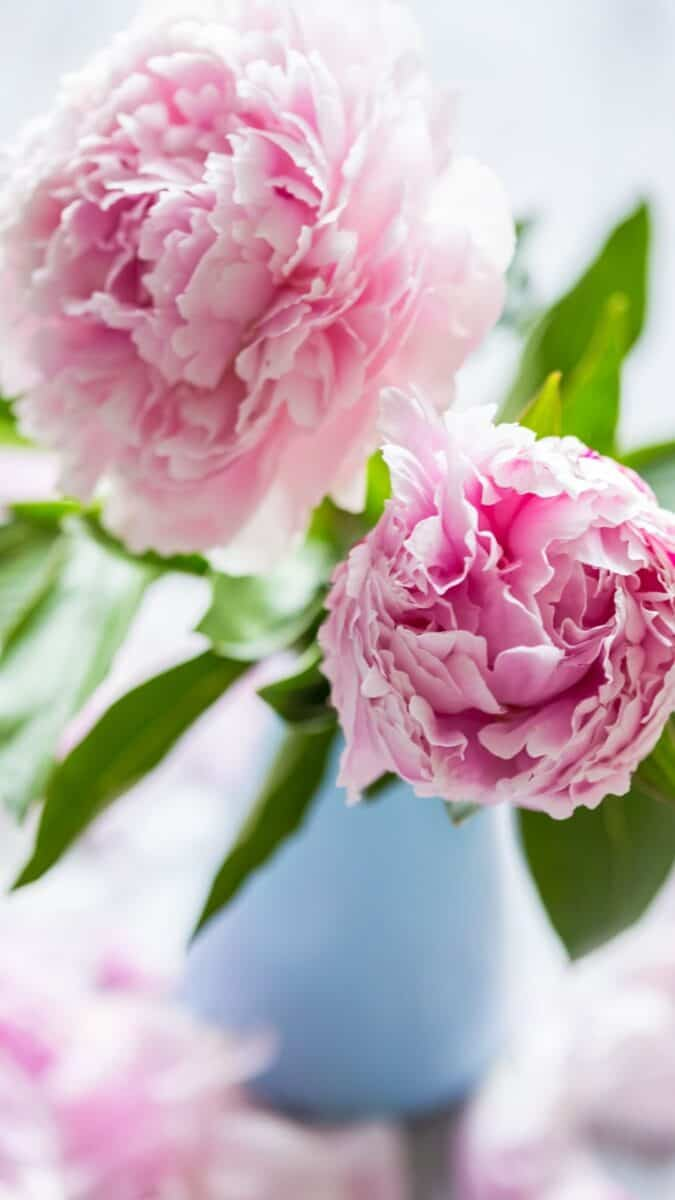pink peony floral background for iPhone